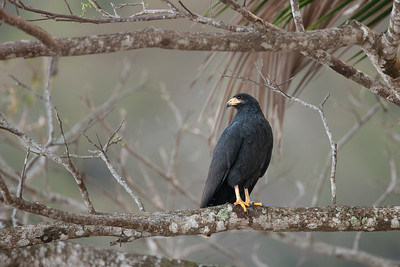 Mangrove Black-Hawk