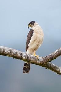 Bicolor Hawk