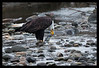 Bald Eagle eating Chum Salmon