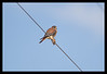 American Kestrel with a Vole