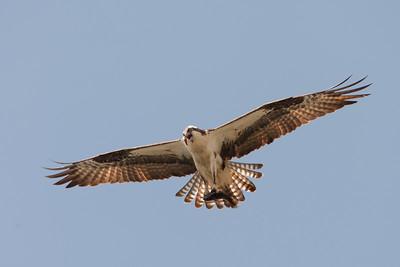 Osprey