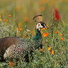 "An Indian Peahen amongst the wildflowers in the ""Crescent Farm""  at the LA Arboretum. The Crescent Farm is an educational, hands-on, chemical free environment, promoting water conservation and sustainable gardening."