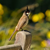 A Red-whiskered Bulbul perched on a bench at the LA Arboretum