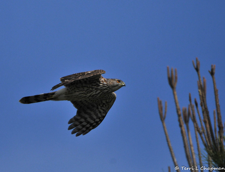 A juvenile Cooper's Hawk flying around my neighborhood