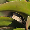 A mother Mourning Dove keeping her babies warm in the  fold of the Aloe plant.