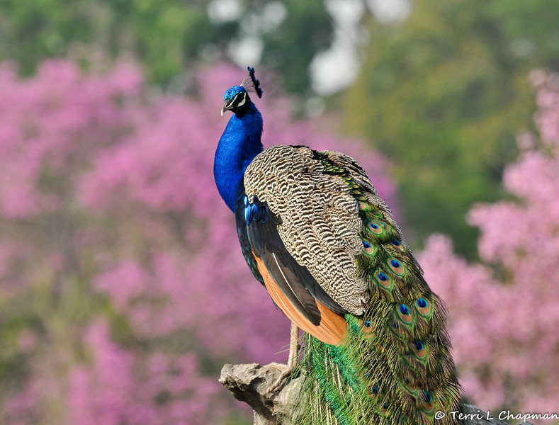 A male Indian Peacock, showing off his tail feathers, against a beautiful backdrop of blooming Pink Trumpet trees at the LA Arboretum.