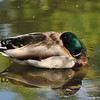 A male Mallard duck resting in the shallow end of a pond