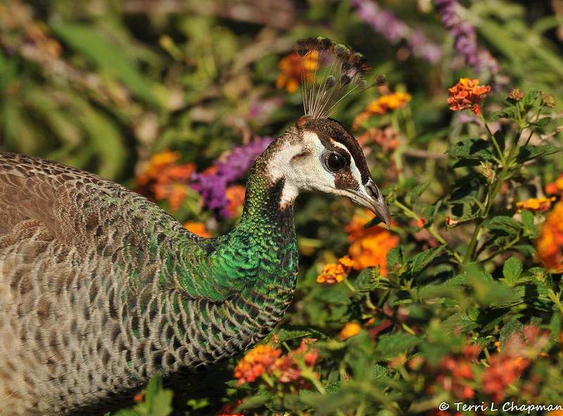 A female Indian Peahen amongst the Lantana blooms
