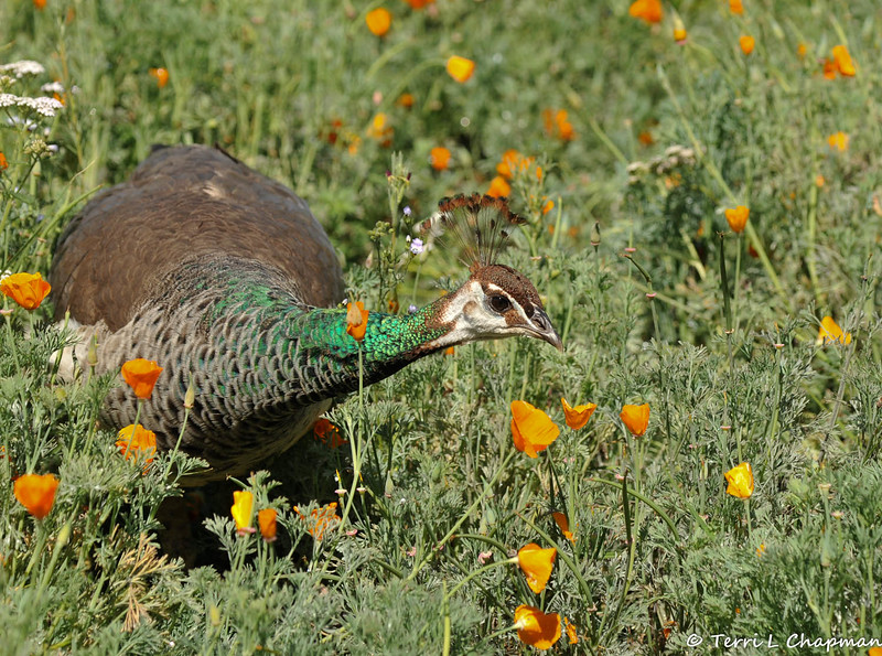 """A female Indian Peahen, amongst the wildflowers, in the """"Crescent Farm""""  at the LA Arboretum. The Crescent Farm is an educational, hands-on, chemical free environment, promoting water conservation and sustainable gardening."""