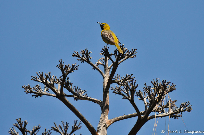 A male Hooded Oriole in a dried up Century plant bloom