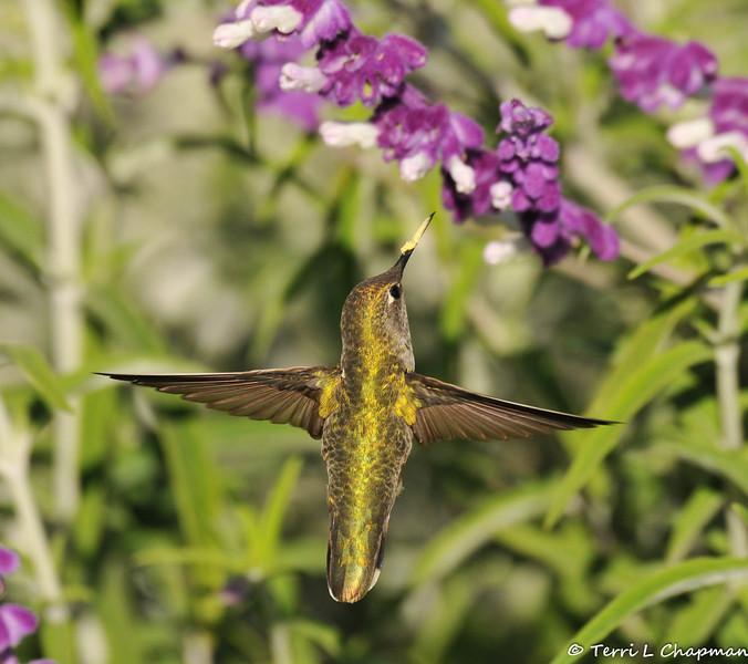 An Anna's Hummingbird in mid-flight near a Sage plant