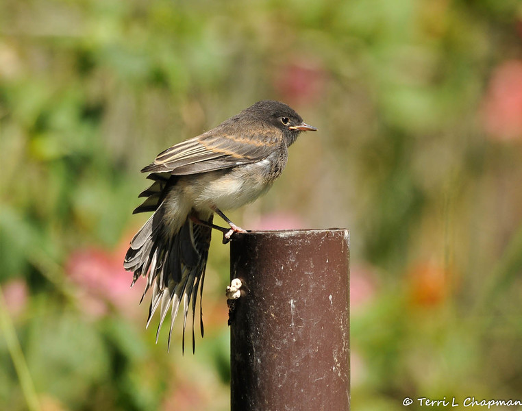 A fledgling Black Phoebe stretching its wings