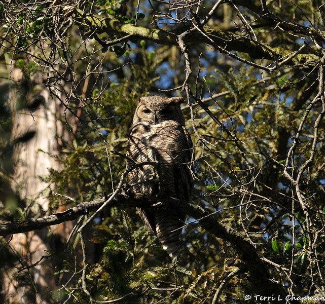 A mother Great Horned Owl keeping watch over her Owlet that is nesting in a tree nearby.