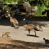 A family of Canada Geese walking around Descanso Gardens