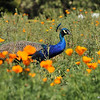 "A male Indian Peacock, walking through the California Poppies, in the ""Crescent Farm""  at the LA Arboretum. The Crescent Farm is an educational, hands-on, chemical free environment, promoting water conservation and sustainable gardening."