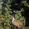 "A Canada Goose, against a backdrop of sunflowers, in the ""Crescent Farm""  at the LA Arboretum. The Crescent Farm is an educational, hands-on, chemical free environment, promoting water conservation and sustainable gardening."