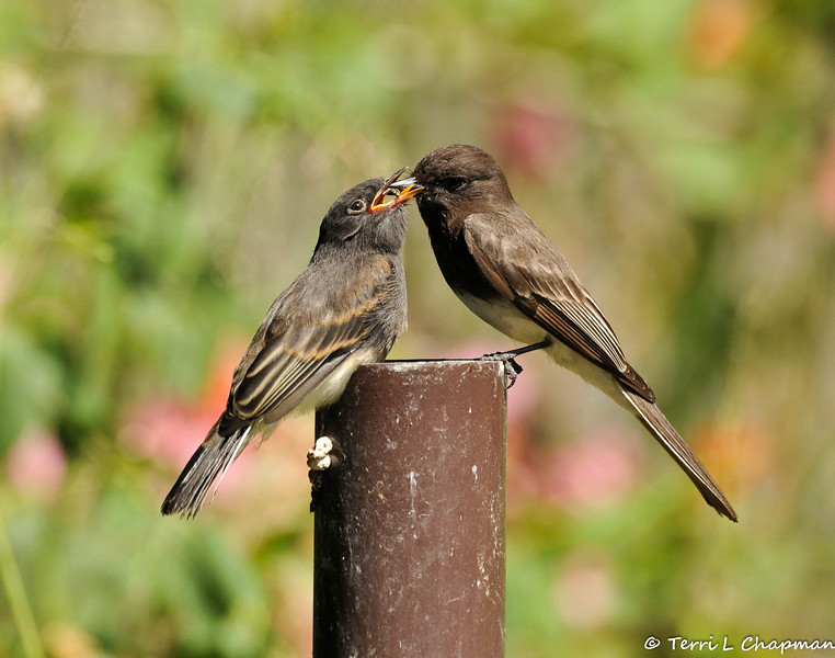 A hungry fledgling Black Phoebe eager to receive its food from one of its parents