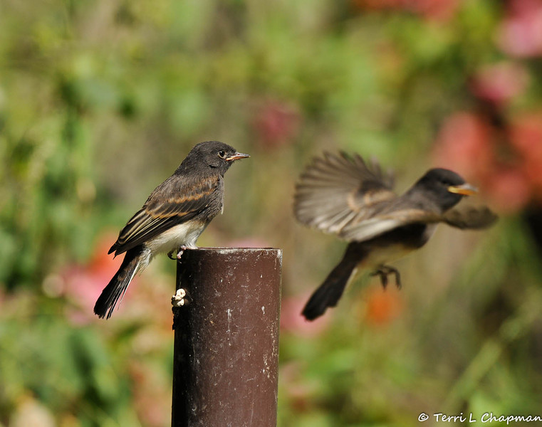 A fledgling Black Phoebe with one of its parents flying in the background