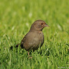 A California Towhee searching the grass for a meal