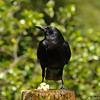 An American Crow perched in a decorative water fountain at Descanso Gardens. A visitor had discarded a piece of bread and the crow was dunking the bread in the water to soften it so it could eat it!
