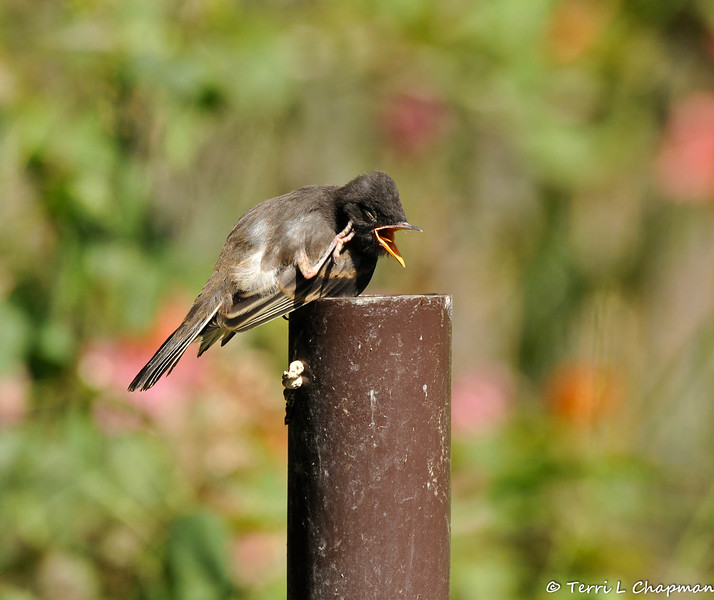 A hungry fledgling Black Phoebe, scratching an itch, and waiting for one of its parents to bring food