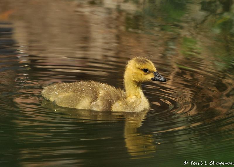 A Gosling taking a swim
