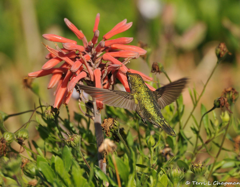 An Anna's Hummingbird sipping nectar from a blooming Aloe plant