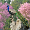 This image is of a male Indian Peacock proudly displaying his feathers. This male was photographed at the LA Arboretum during early Spring when the female peahens were all over the gardens and this male decided he was going to fly up on this rock and pose for the girls. The Pink Trumpet tree in the background provides a beautiful backdrop for the peacock's colorful feathers.