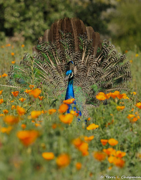 "A young male Indian Peacock, displaying his tail feather, amongst the California Poppies in the ""Crescent Farm""  at the LA Arboretum. The Crescent Farm is an educational, hands-on, chemical free environment, promoting water conservation and sustainable gardening."