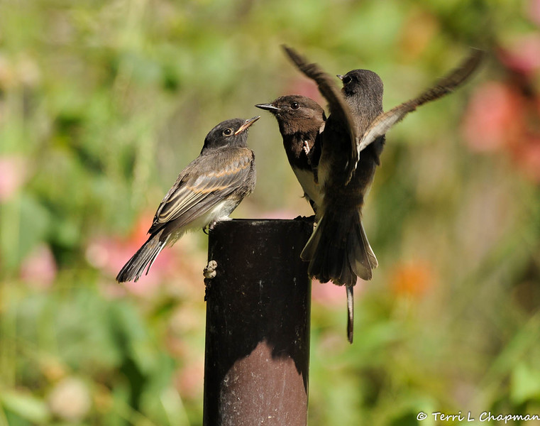A fledgling Black Phoebe with both of its parents