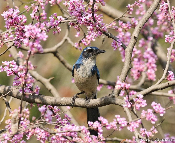A Scrub Jay perched in a flowering Eastern Redbud tree.