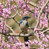 A Scrub Jay perched in a flowering Eastern Redbud tree.