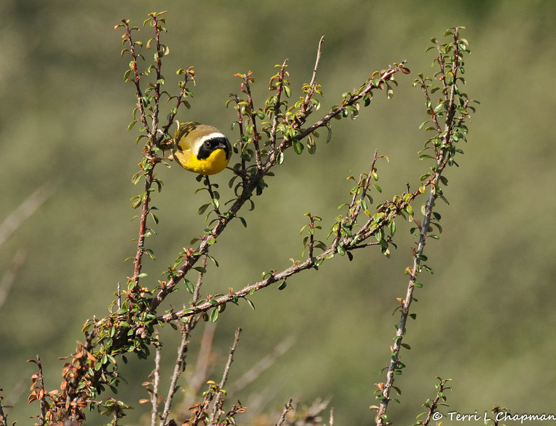 A Common Yellow-throat