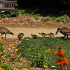 A family of Canada Geese at Descanso Gardens