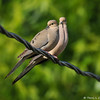 A pair of Mourning Doves perched on the cable wire in my backyard