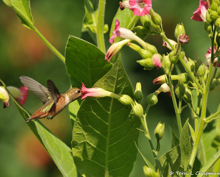 An Allen's Hummingbird sipping nectar from a pink tubular flower