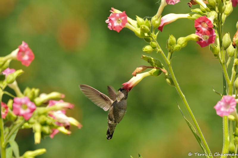 An Anna's Hummingbird sipping nectar from a pink tubular flower