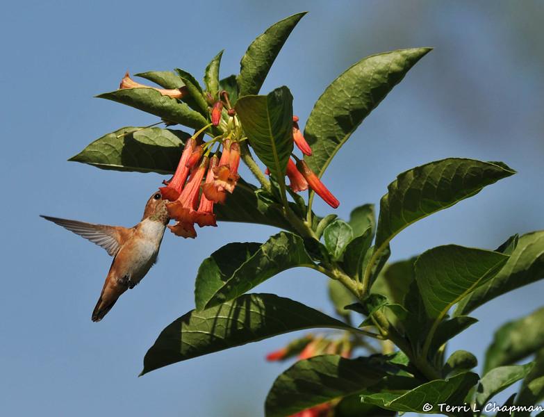 An Allen's Hummingbird sipping nectar from a trumpet vine flower
