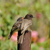 A hungry fledgling Black Phoebe with one its parents