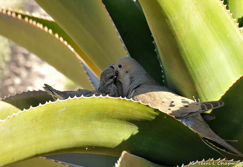 A mother Mourning Dove feeding crop milk to her offspring.