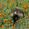 "A female Indian Peahen, amongst the wildflowers, in the ""Crescent Farm""  at the LA Arboretum. The Crescent Farm is an educational, hands-on, chemical free environment, promoting water conservation and sustainable gardening."