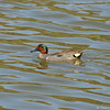 A male Green-winged Teal duck