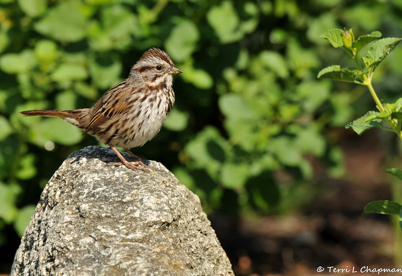 A Song Sparrow perched on a lookout rock