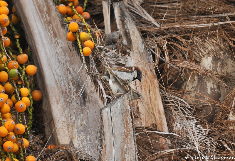 A breeding pair of Old World Sparrows in my neighbor's Palm tree