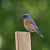 A male Western Bluebird perched on a fence post