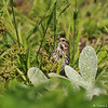 A Song Sparrow eating grass seeds