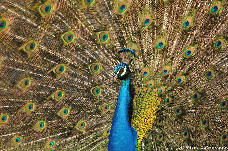 A male Indian Peacock displaying his tail feathers to the Peahens at the LA Arboretum.