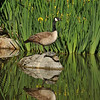 A Canada Goose, and Red-eared Slider turtles, at the LA Arboretum.