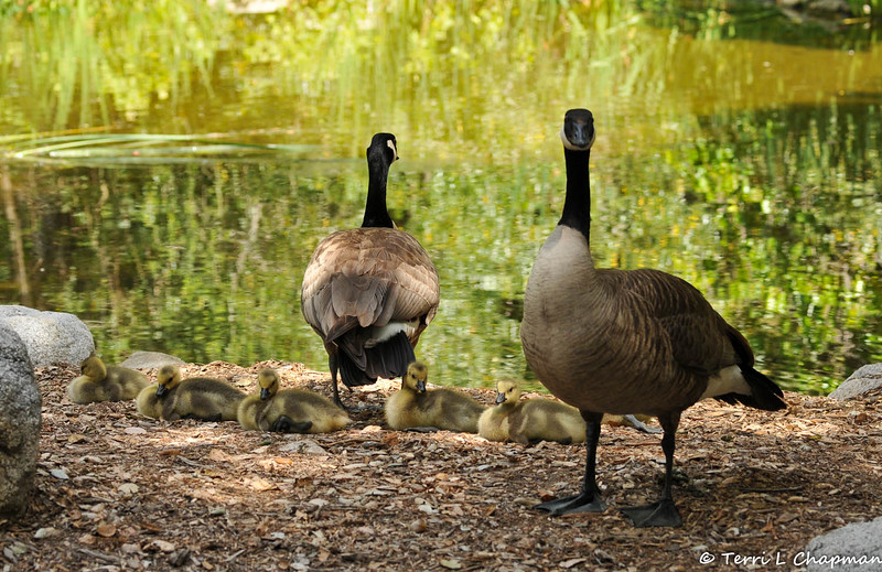 A family of Canada Geese resting beside a pond at Descanso Gardens