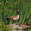 Canada Geese, and Red-eared Slider turtles, at the LA Arboretum.